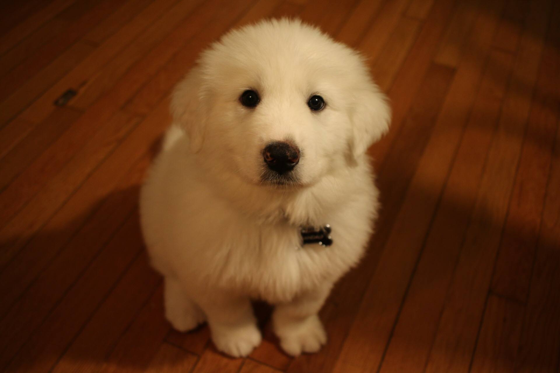 Gandalf the White Pyrenees | MrsAmberApple